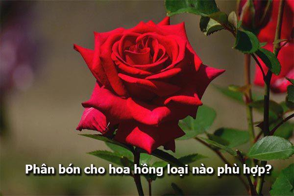 Phân bón cho hoa hồng loại nào phù hợp?